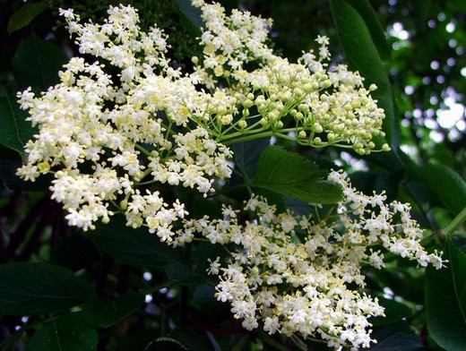 bodza virág