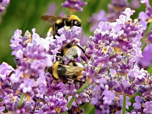 levendula méz